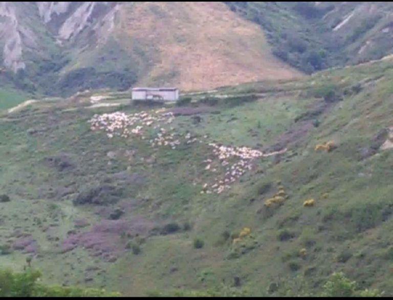 Atri, pecore a pascolo vicino la discarica di Santa Lucia FOTO