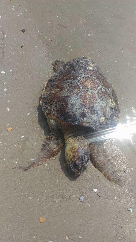 Giulianova, altre 2 carcasse di tartarughe trovate sulla spiaggia FOTO