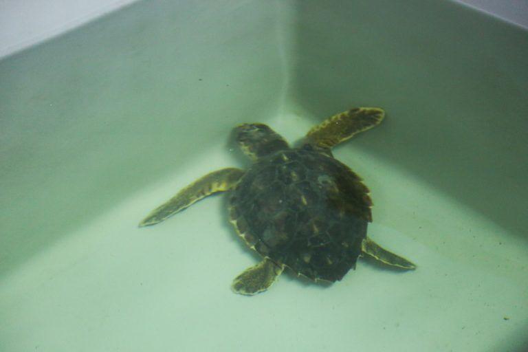 Pescara, pronte a tornare in mare due tartarughe caretta caretta