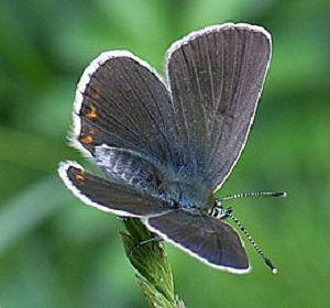 Parco Abruzzo, avvistata una nuova specie di farfalla diurna