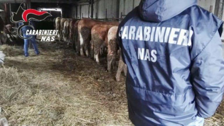 Controlli Nas in allevamenti Abruzzo, carne sequestrata e sanzioni FOTO VIDEO