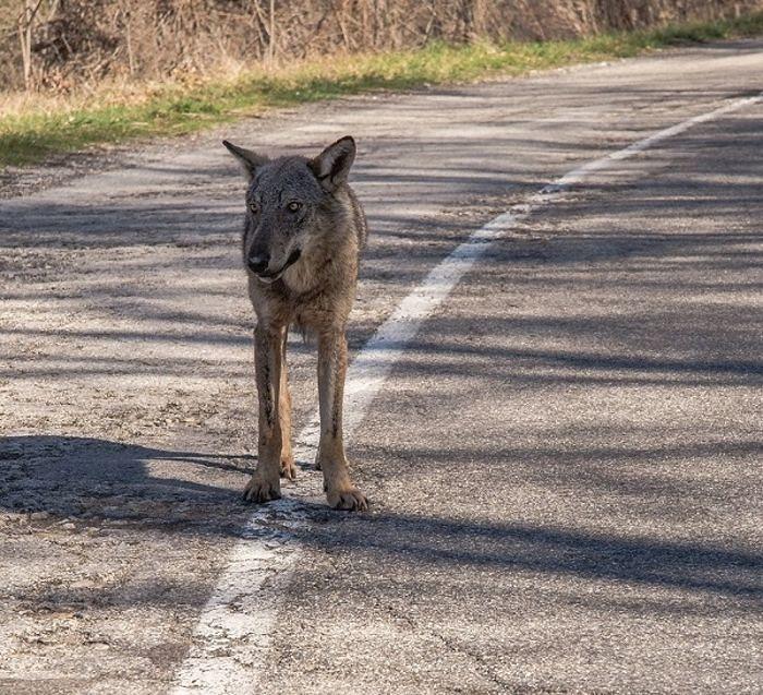 WWF Abruzzo: 'Regione ritiri parere per abbattimento dei lupi'
