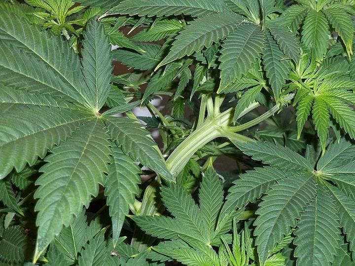 Legalizzazione Cannabis, Acerbo (PRC) e Di Nanna (AGL): 'Pellegrini vittima della Giunta regionale'