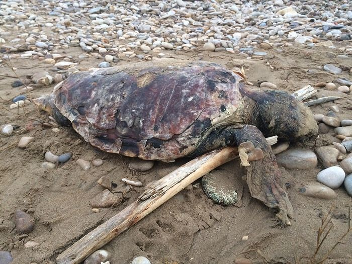 San Salvo, tartaruga adulta trovata morta in spiaggia