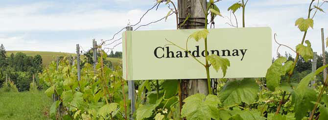 Chardonnay: un vitigno cosmopolita
