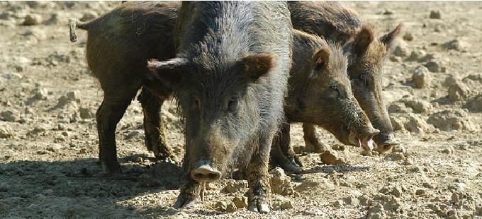 Abruzzo, Regione autorizza caccia a cinghiale fino a giugno: WWF perplesso
