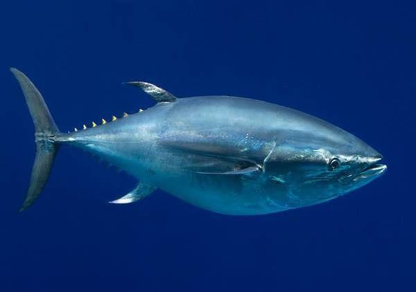 Chiusa la pesca sportiva del tonno rosso