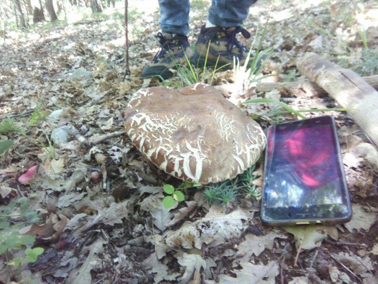Porcino gigante trovato nei boschi di Tornimparte FOTO