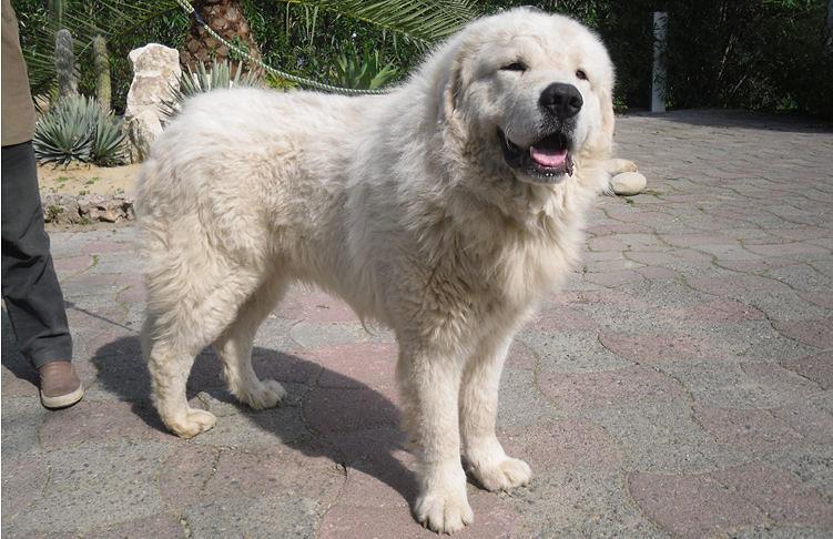 Pastore Abruzzese: il cane riconosciuto patrimonio culturale dal Governo
