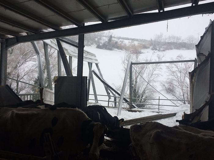 Campotosto, emergenza allevamenti: intrappolate mucche e vitelli
