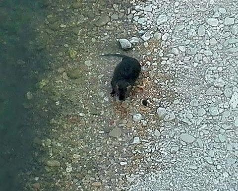 Cologna Spiaggia, nutrie scambiate per grossi ratti