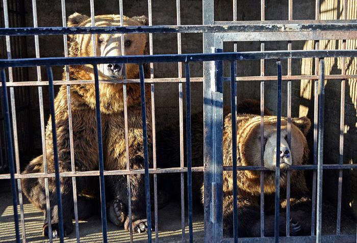 Tre orsi albanesi liberati nel Parco Nazionale d'Abruzzo
