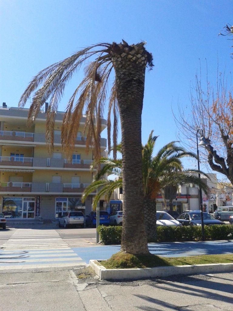 Alba Adriatica, palme malate sul lungomare: sono 54 quelle da tagliare