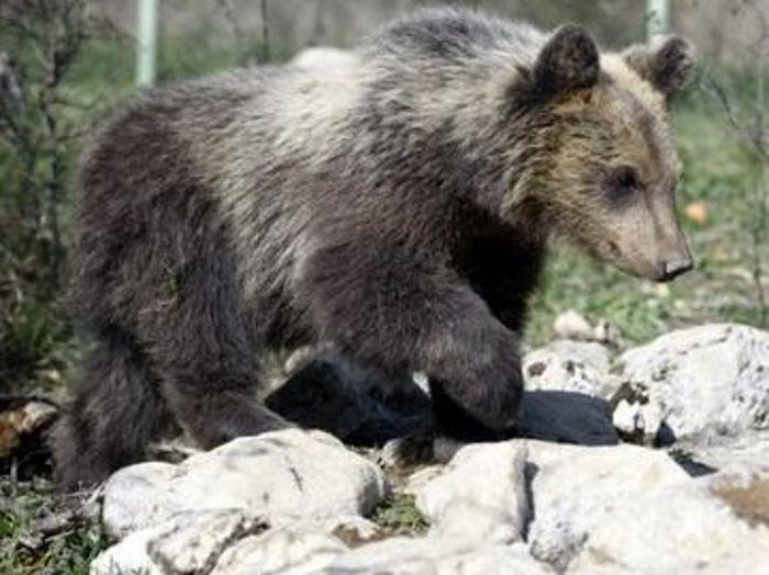 Parco d'Abruzzo, l'orsetta Morena rilasciata in natura