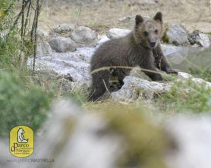 Parco d'Abruzzo, per l'orsa Morena si avvicina il momento di tornare in libertà