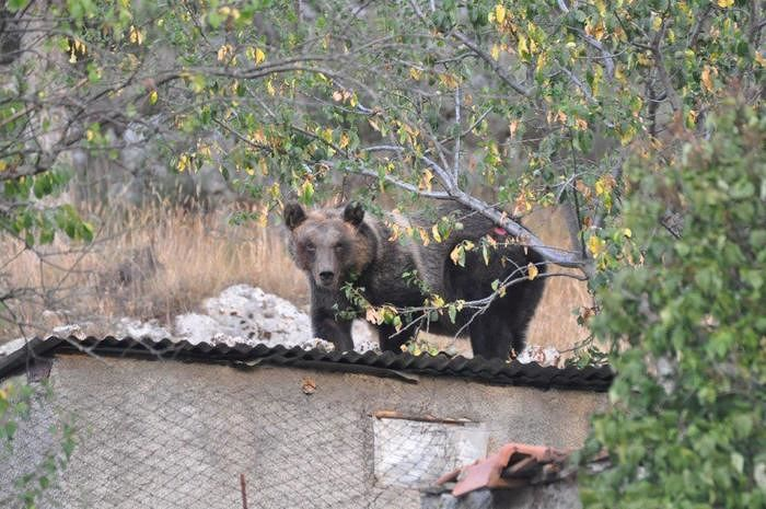 Orso marsicano, accordo Parco Abruzzo ed Associazione per la salvaguardia