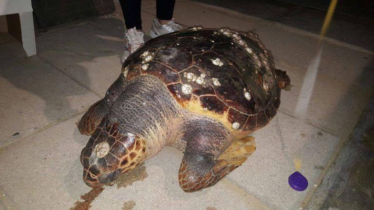 Moria di tartarughe marine in Abruzzo: 14 in 9 giorni