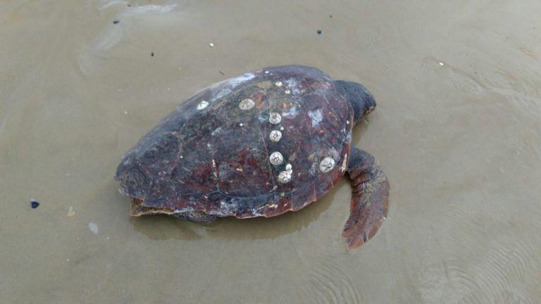 9 tartarughe spiaggiate in Abruzzo, Wwf: 'Nuove norme per tutelare la specie'