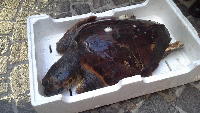 Pescara, Caretta caretta di 25 kg finisce nelle reti dei pescatori: salvata dall'equipaggio