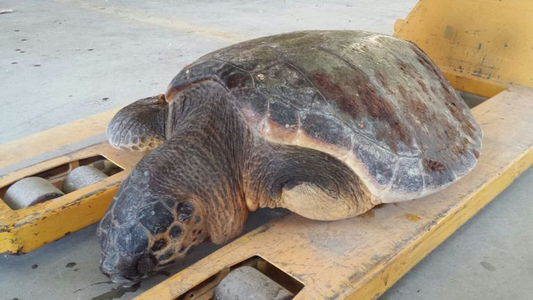 Tortoreto, tartaruga morta rinvenuta al Lido 4 Palme