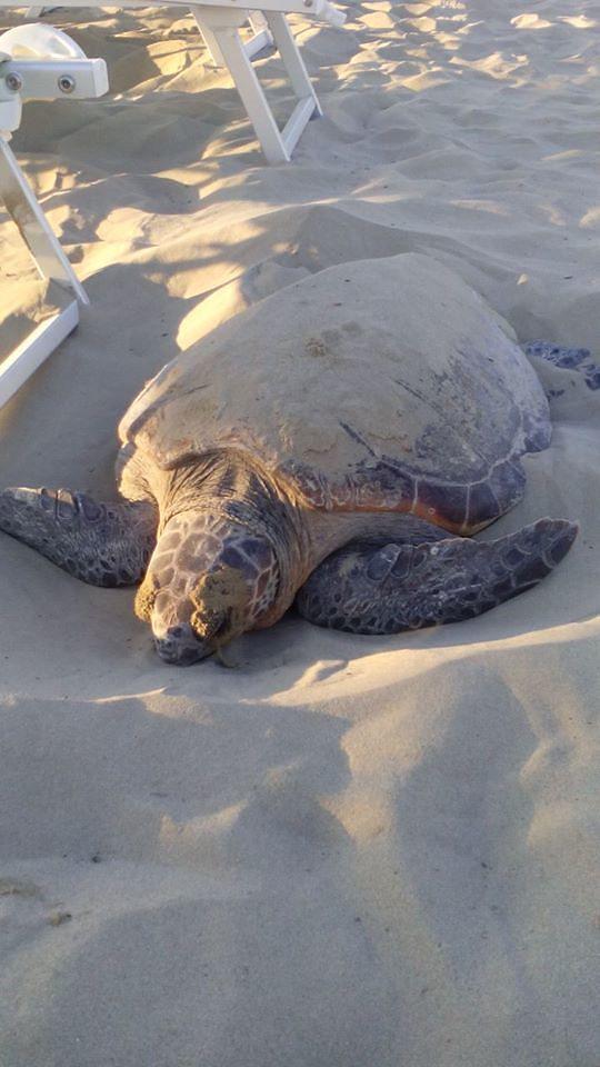 Tortoreto, il nido della tartaruga non si trova. Ma per gli esperti ha deposto