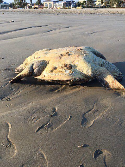 Giulianova, tartaruga morta trovata in spiaggia