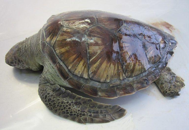 Tartaruga spiaggiata: ingestione di plastica la causa del decesso FOTO