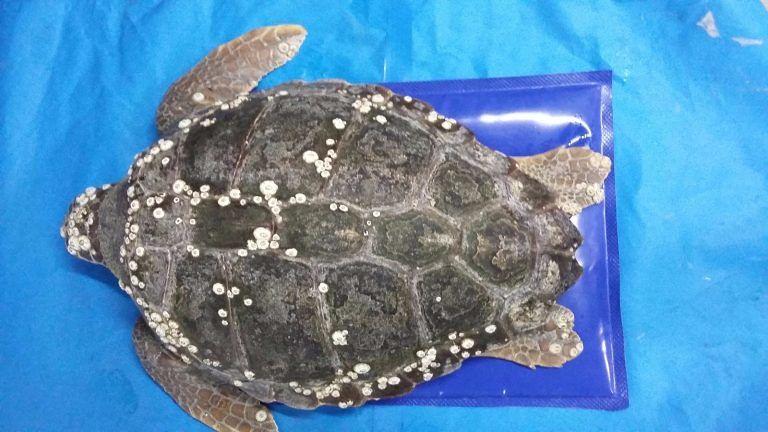 Pescara, sette tartarughe rilasciate in mare
