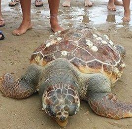 Moria di tartarughe in Abruzzo, colpa dell'uomo