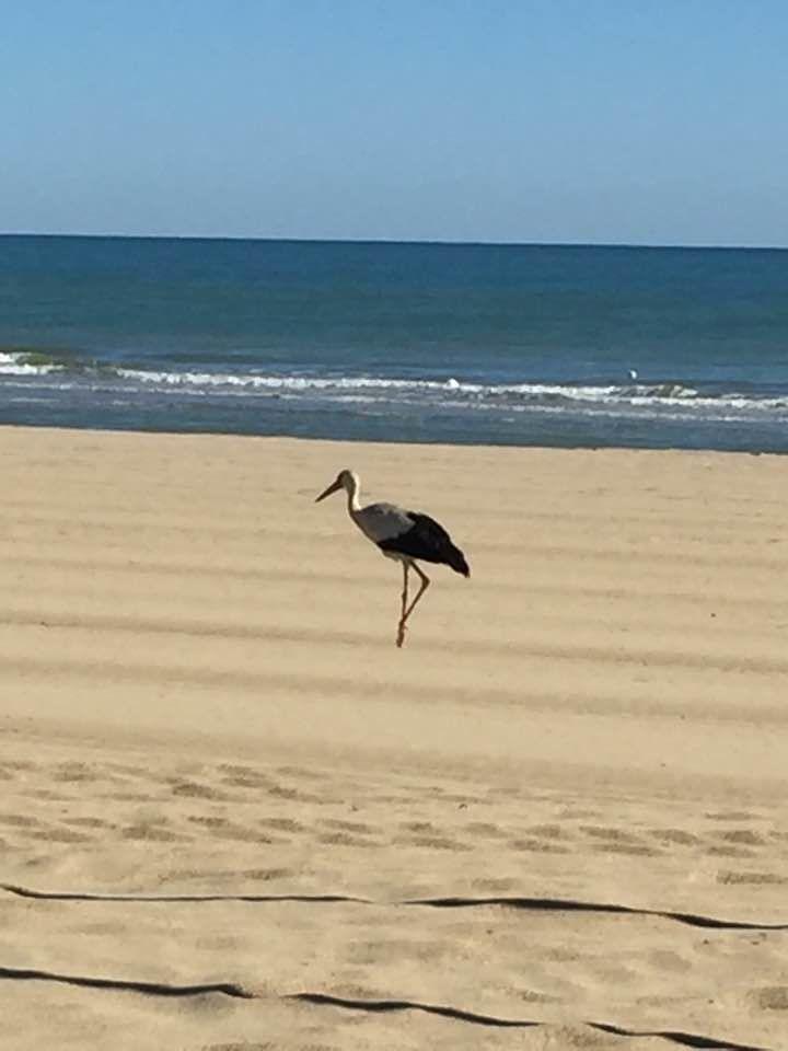 La cicogna sulla spiaggia di Tortoreto