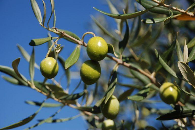 Spoltore, la potatura dell'olivo: due giornate di corso teorico-pratico