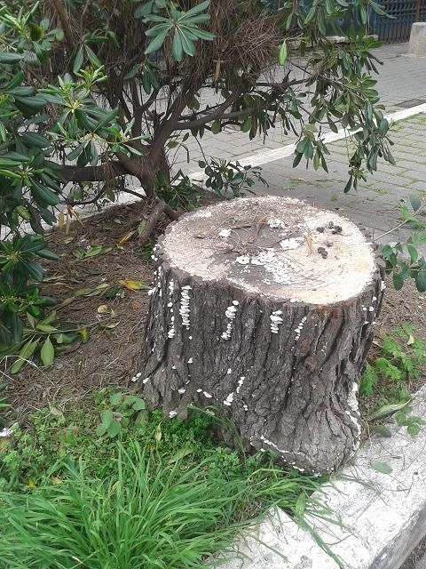 Pescara, il Comune fa ricorso per procedere al taglio degli alberi: la protesta del Wwf