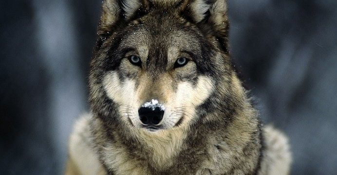 Abbattimento lupi in Abruzzo, WWF: Regione sia coerente e cancelli la norma