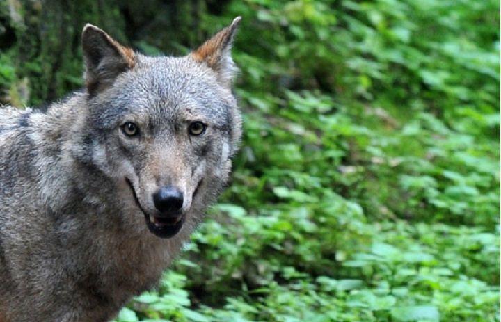 WWF Abruzzo si appella alla Regione: 'Salviamo il lupo, uniamoci'