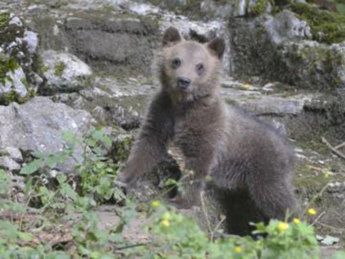 Parco d'Abruzzo, l'orsa Morena compie un anno