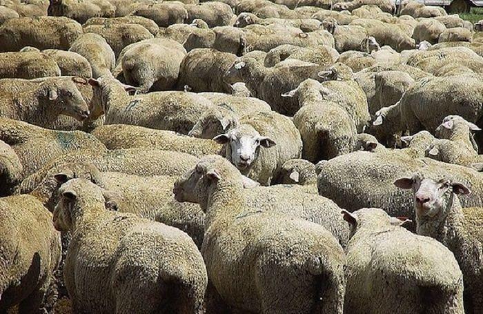 Pineto, strage di pecore in contrada Cannuccia