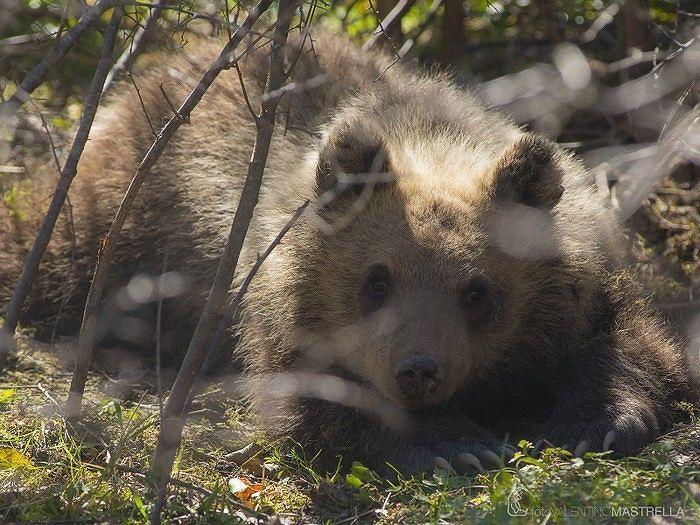 Parco d'Abruzzo, l'orsa Morena ha superato l'inverno