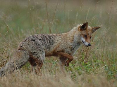 Teramo, caccia alla volpe: varato dalla Provincia il piano di contenimento