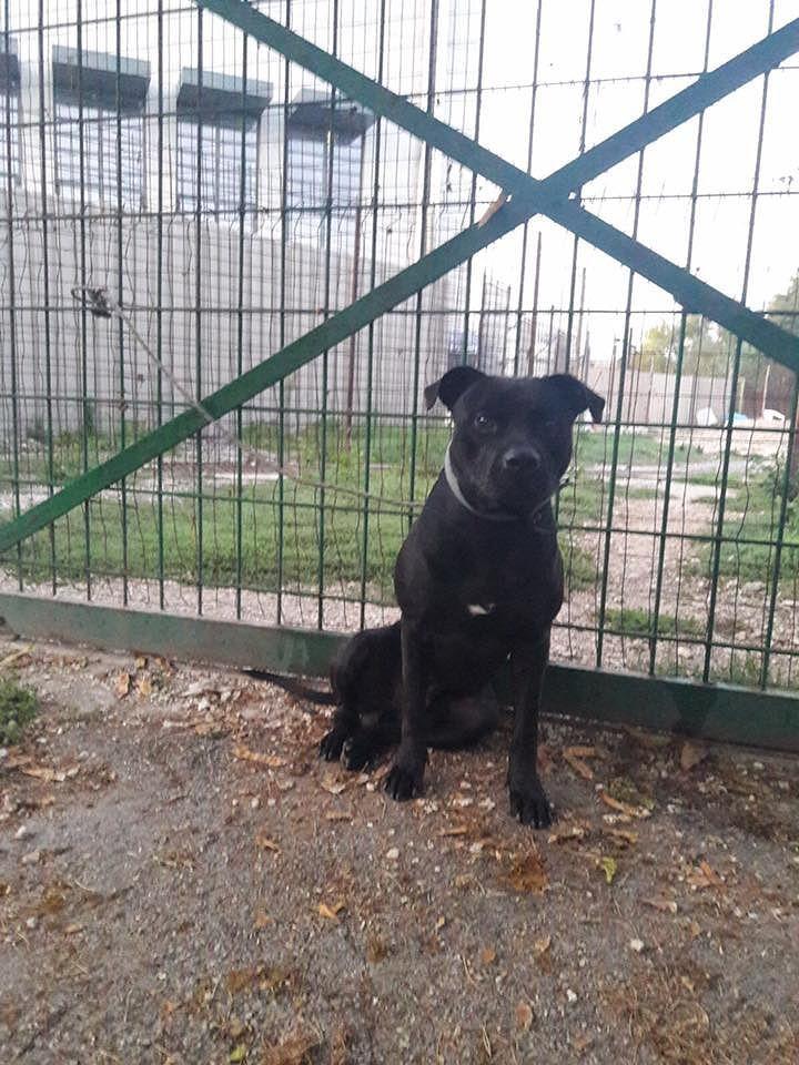Pescara, pitbull abbandonato davanti al canile