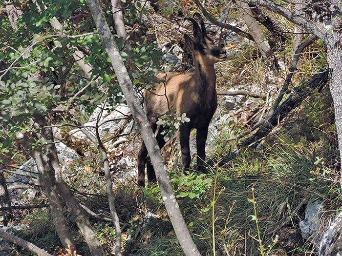 Berro: un giovane camoscio a Farindola dai monti Sibillini – FOTO