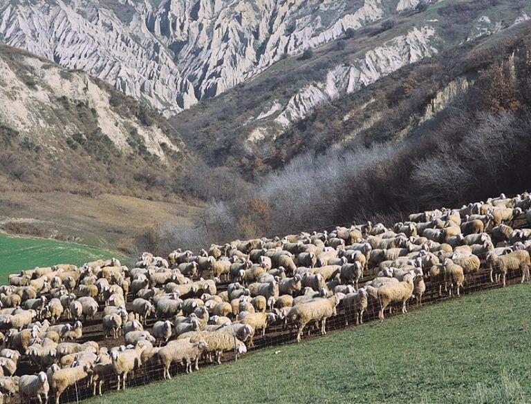 Teramo, l'Izs scopre una nuova malattia tra gli ovini europei