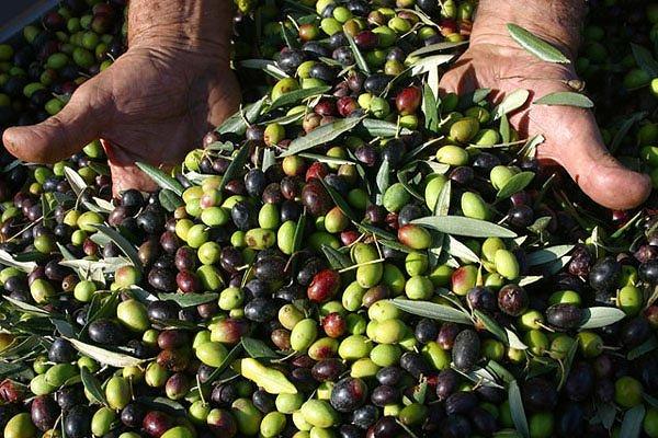 Raccolta olive in Abruzzo: gelo e siccità rischiano di dimezzare la produzione di olio