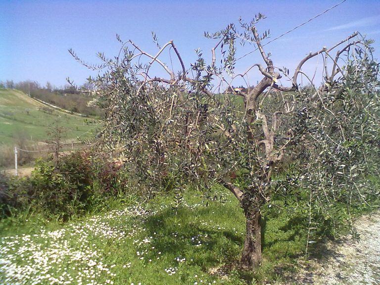 Controguerra, al via il corso di potatura dell'olivo