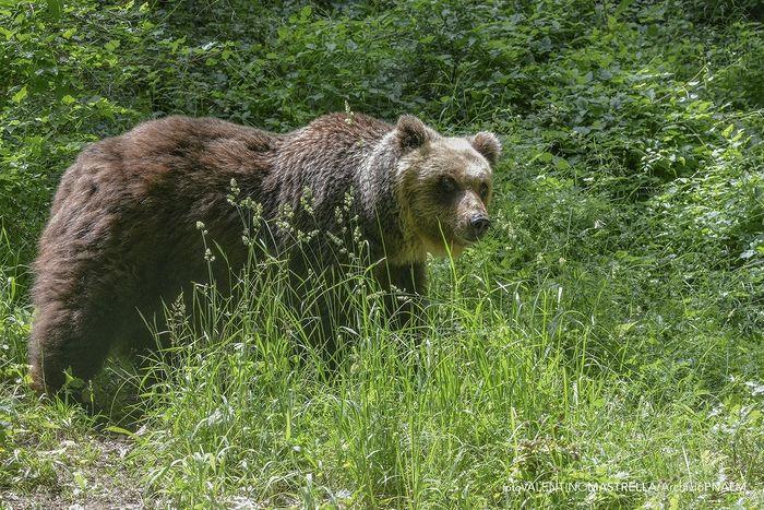 Orso ucciso in Abruzzo, Procura Appello impugna assoluzione