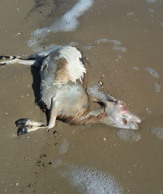Pineto, capra senza vita spiaggiata sulla riva del mare IMMAGINI FORTI