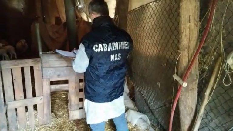 Controlli dei Nas in allevamenti e caseifici: attività sospese in tutto l'Abruzzo