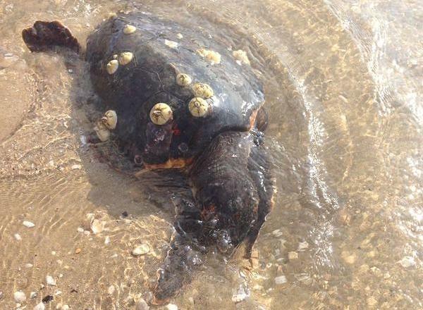 Giovane tartaruga trovata morta sulla spiaggia di Cologna