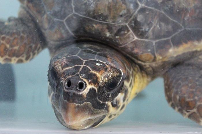 La tartaruga Smeagol torna nelle acque dell'AMP Torre di Cerrano