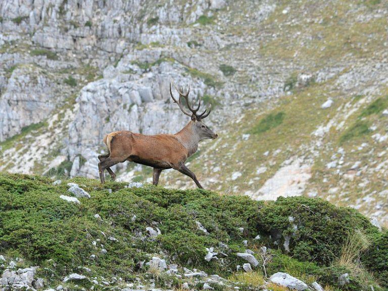 Capistrello, spara e uccide cervo: cacciatore denunciato per bracconaggio