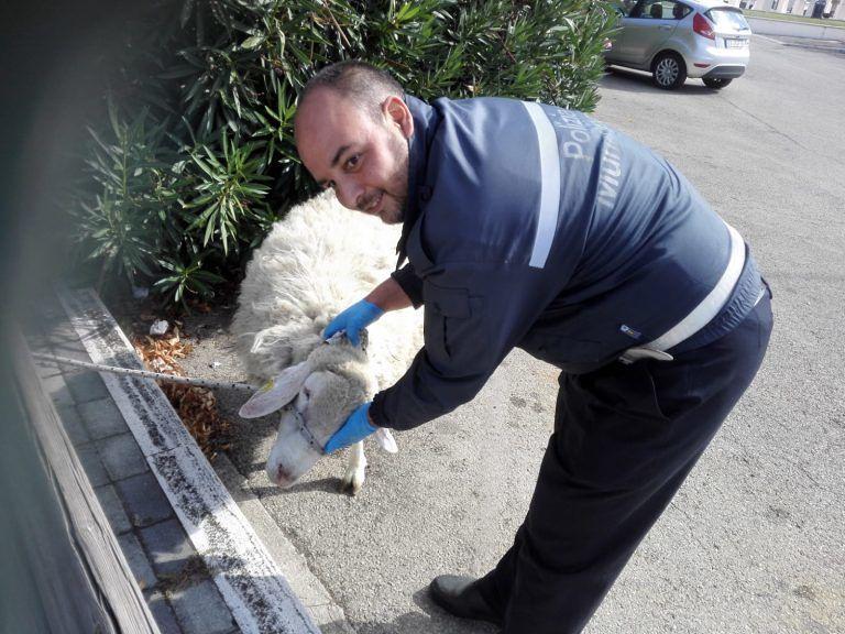 Pescara, montone in fuga a San Silvestro: recuperato dai vigili FOTO